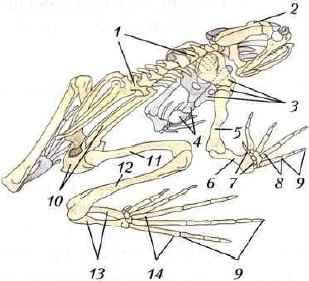 позвоночник земноводных Земноводные, или Амфибии: скелет