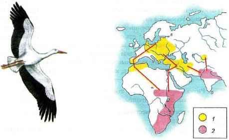 Схема миграций белого аиста (красными линиями обозначены пути пролета): 1 - гнездовой ареал; 2 - зимний ареал.