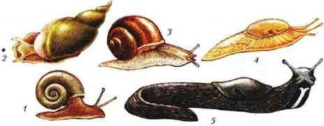 Разнообразие брюхоногих моллюсков