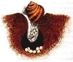 Виноградная улитка, откладывающая яйца