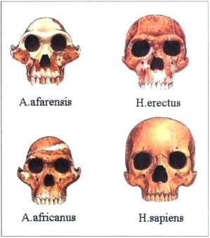 Строение черепа австралопитеков и людей