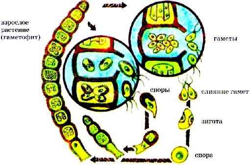 У мхов гаметофит в цикле также преобладает (рис. 98).  Он развивается при прорастании споры.