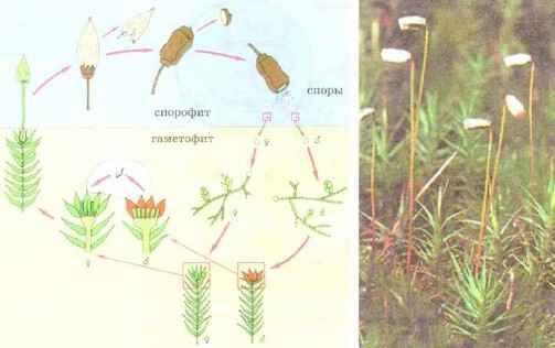 Жизненный цикл зеленого мха кукушкин лен.
